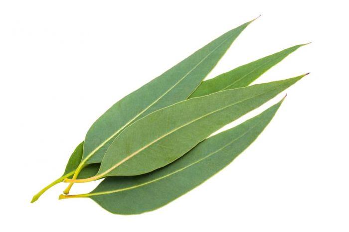 12 Plantas medicinales y sus beneficios, Eucalipto