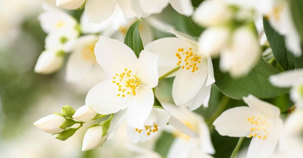 12 Plantas medicinales y sus beneficios, Flor de Jazmín