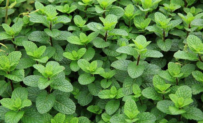 12 Plantas medicinales y sus beneficios, Hierbabuena