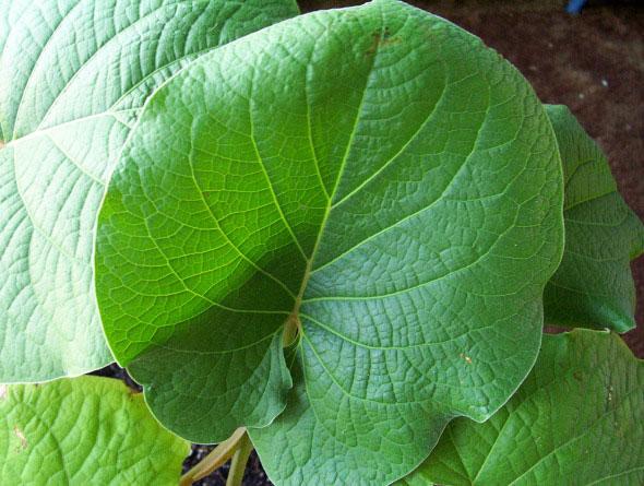 12 Plantas medicinales y sus beneficios, Hoja Santa, Hierva Santa