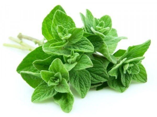 12 Plantas medicinales y sus beneficios, orégano
