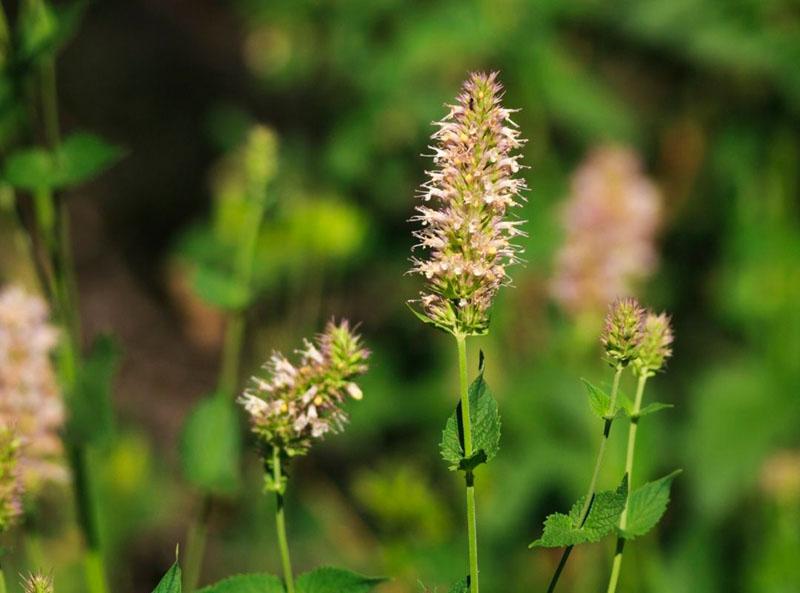Tipos de menta: menta de caballo (Mentha longifolia)
